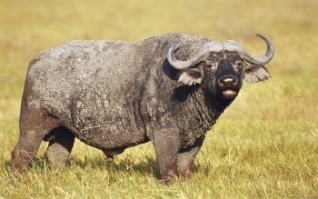 Animal - Buffalo Wallpapers and Backgrounds ID : 276979