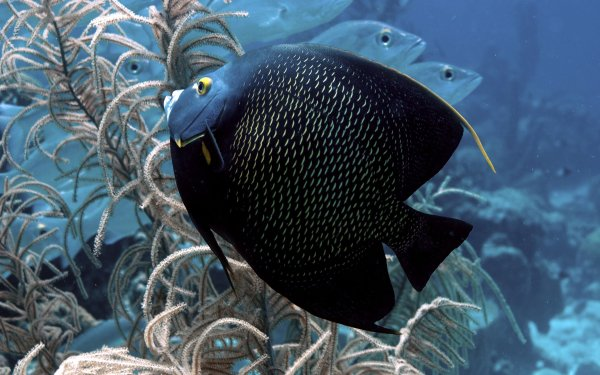 Animal Angelfish Fish HD Wallpaper | Background Image