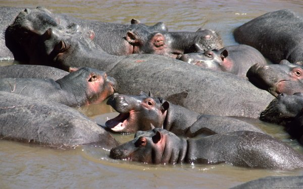 Animal Hippo HD Wallpaper   Background Image