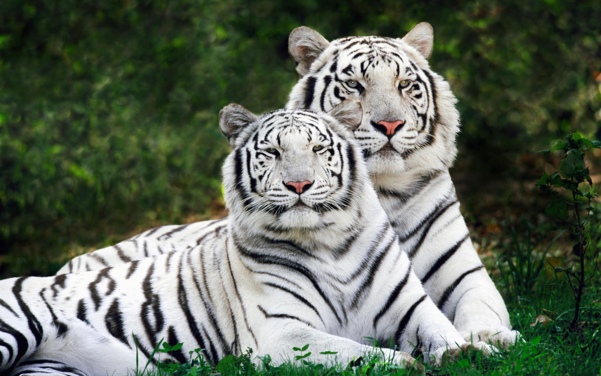 White Tiger Hd Wallpaper Background Image 1920x1200 Id 277017