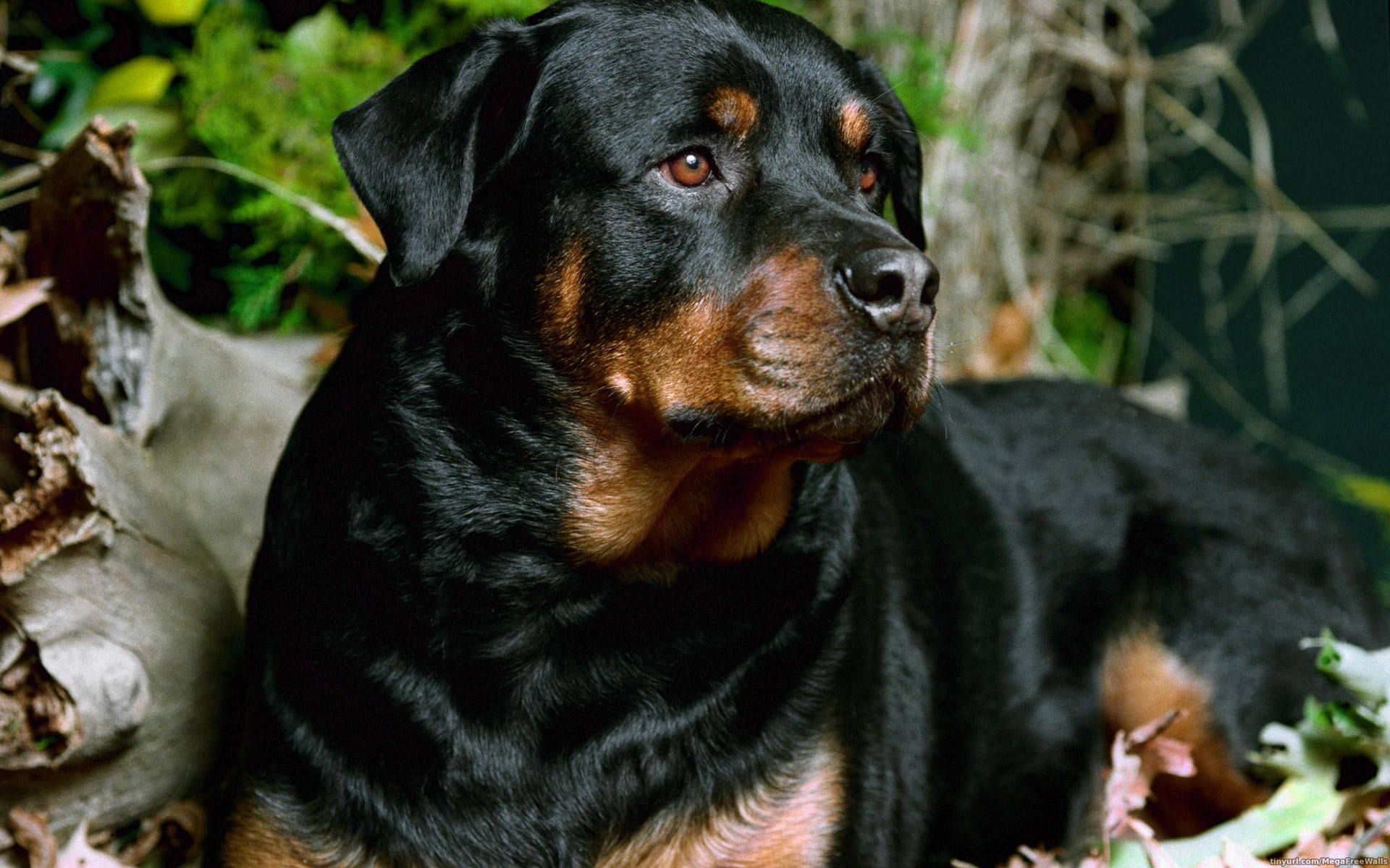 Rottweiler Full HD Wallpaper and Background Image ...