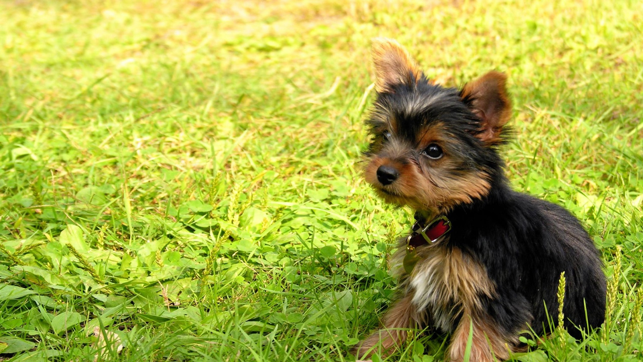 The Breed Is Nicknamed Yorkie Hd Wallpaper Background Image