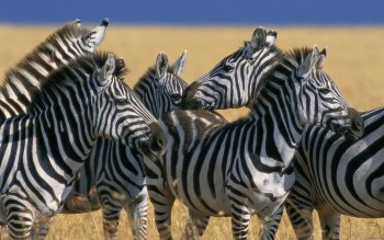 Animal - Zebra Wallpapers and Backgrounds ID : 277069