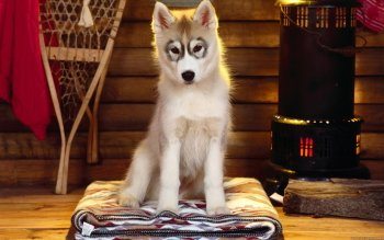 Preview siberian husky