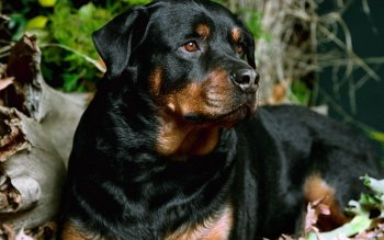 Animal - Rottweiler Wallpapers and Backgrounds ID : 277107