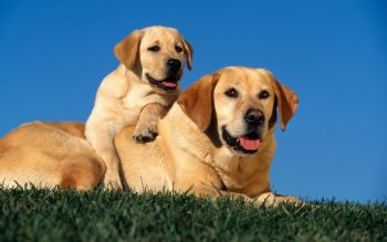 Animalia - Labrador Retriever  Wallpapers and Backgrounds ID : 277109