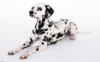Djur - Dalmatian Wallpapers and Backgrounds ID : 277735