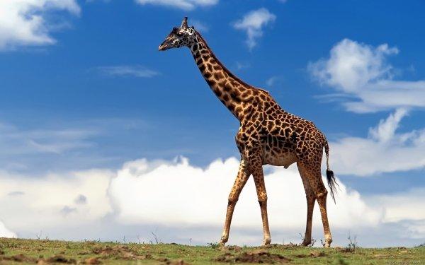 Animal Giraffe Wildlife HD Wallpaper   Background Image