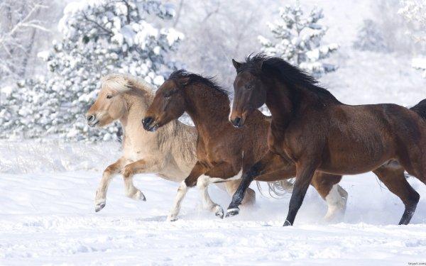 Animal Horse Snow Running HD Wallpaper | Background Image