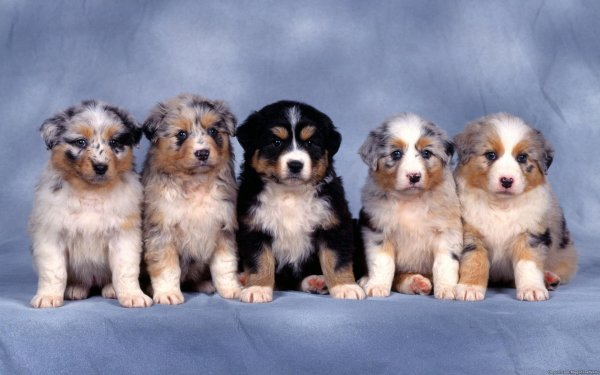 Animal Cute Dog Puppy Australian Shepherd HD Wallpaper   Background Image