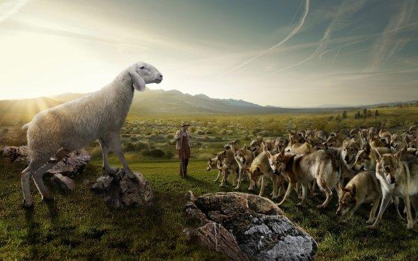Humor Animal Wolf Sheep HD Wallpaper   Background Image