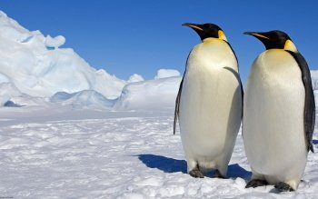 Animalia - Emperor Penguin Wallpapers and Backgrounds ID : 278069