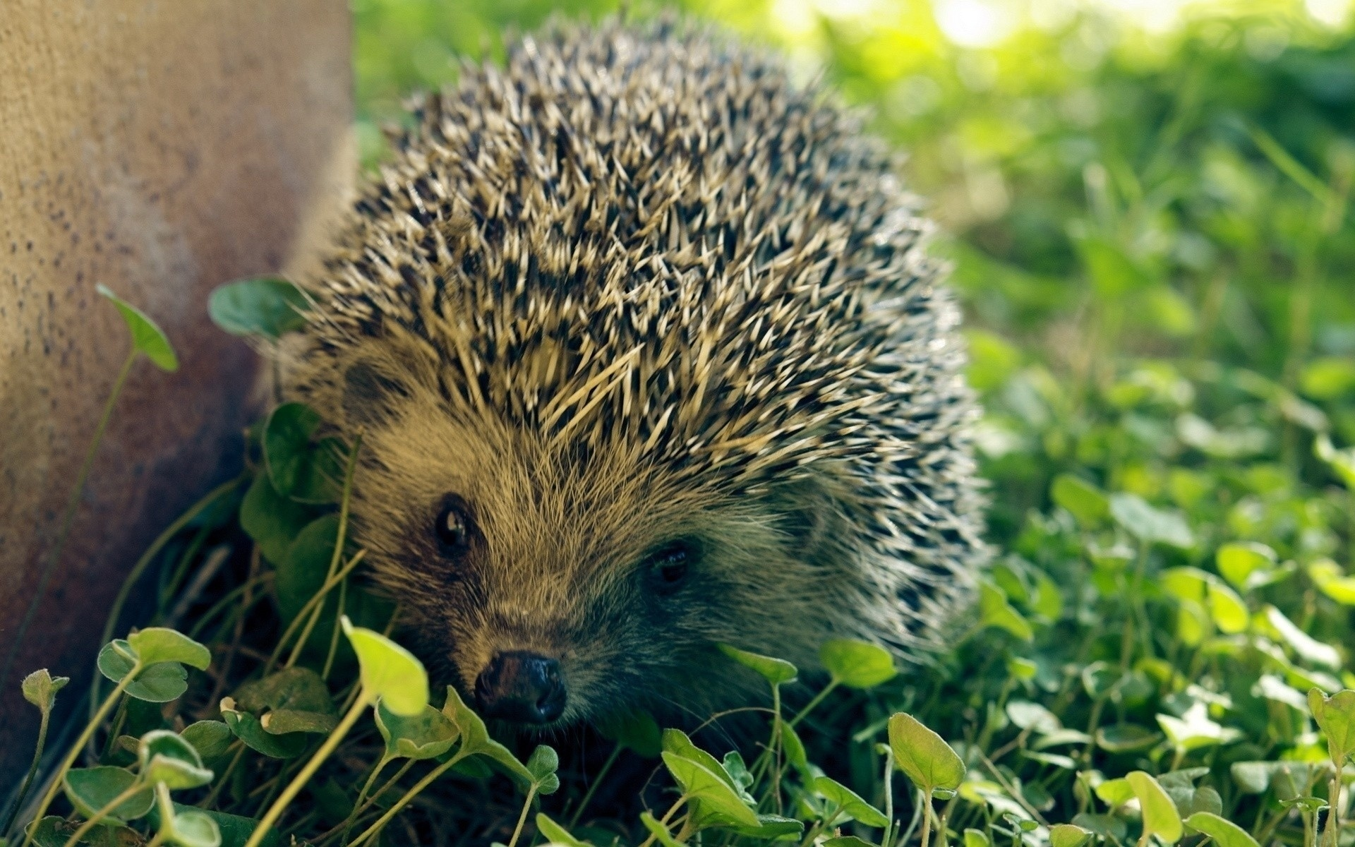 Hedgehog Full HD Wallpaper and Background Image