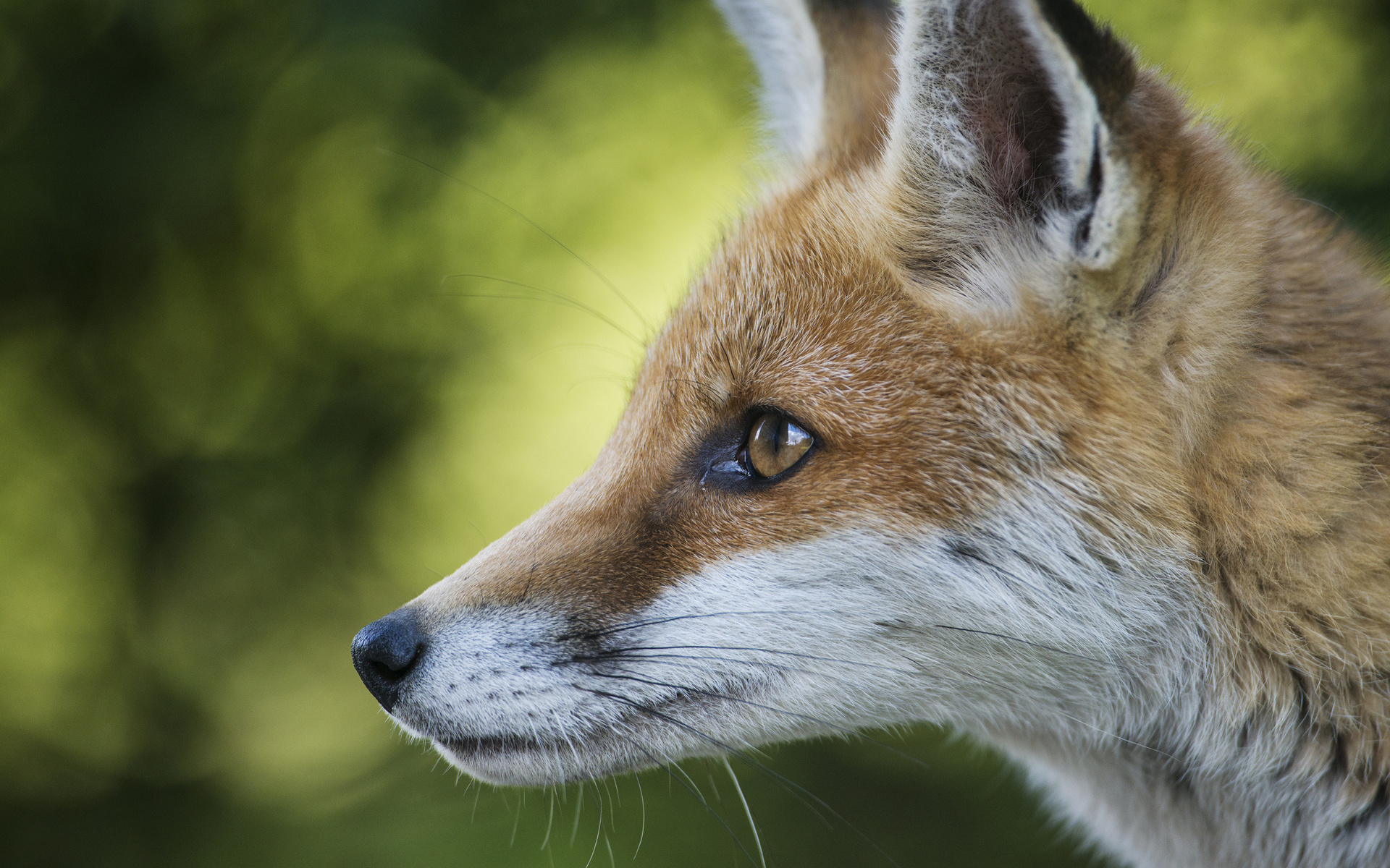 red fox face and - photo #42