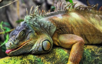 Animal - Iguana Wallpapers and Backgrounds ID : 280447