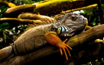 Animal - Iguana Wallpapers and Backgrounds ID : 280939