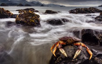 Animal - Crab Wallpapers and Backgrounds ID : 281539