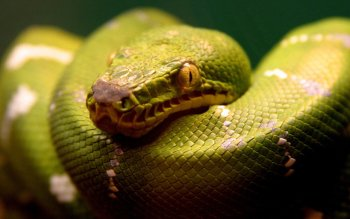 Animal - Snake Wallpapers and Backgrounds ID : 29077