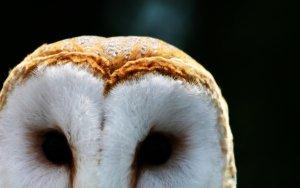 Preview Animal - Barn Owl Art