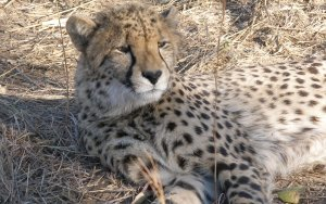 Preview Cheetah