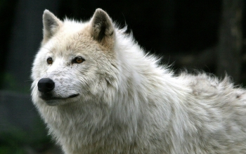 Animal - Wolf Wallpapers and Backgrounds ID : 36489