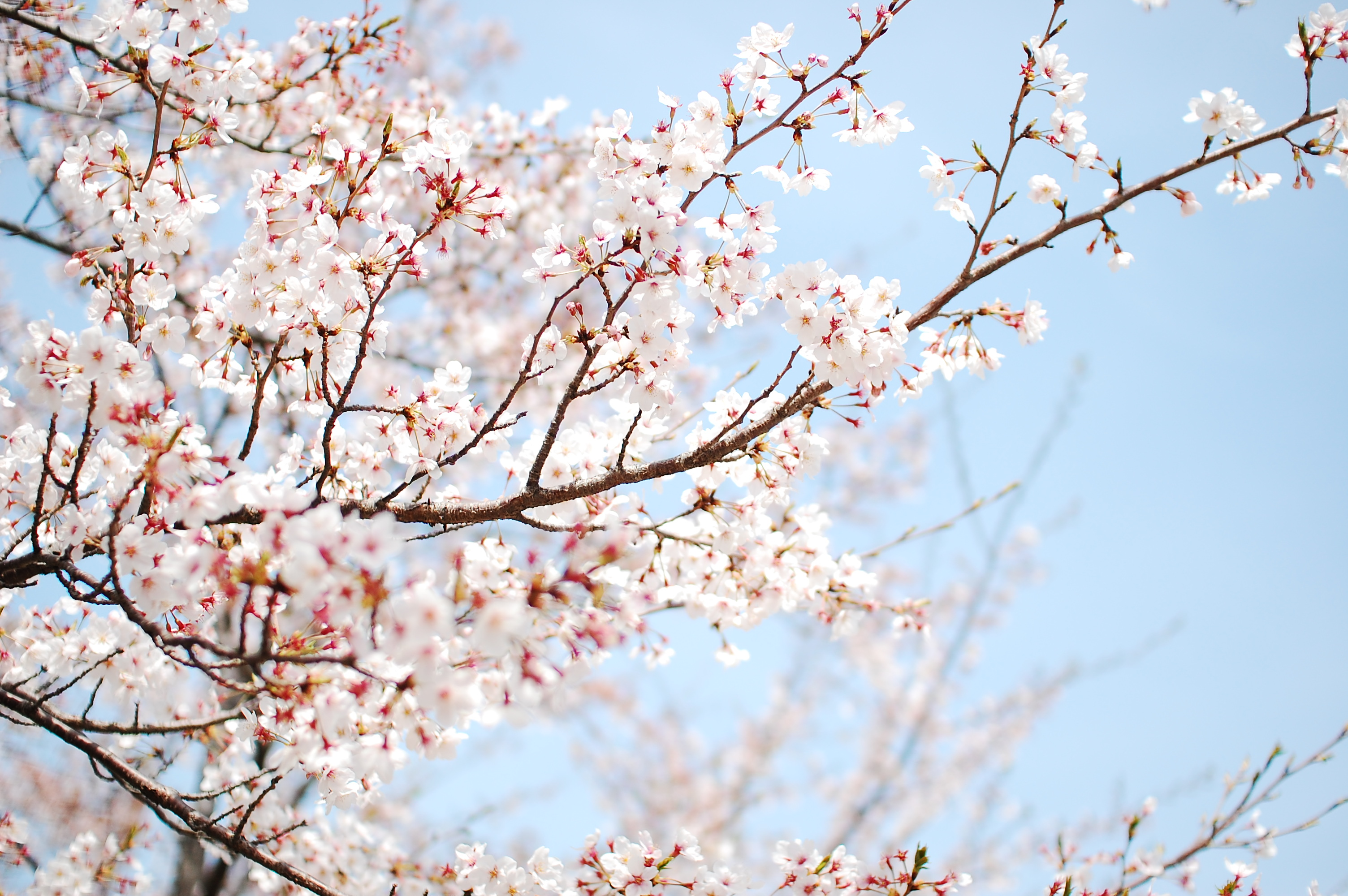 879 Blossom HD Wallpapers | Background Images - Wallpaper ...