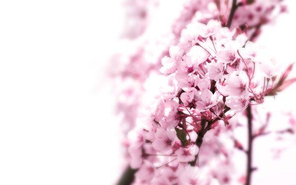 Terre/Nature Floraison Fleurs Pastel Fond d'écran HD | Image