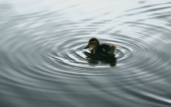 Animal - Duck Wallpapers and Backgrounds ID : 4549