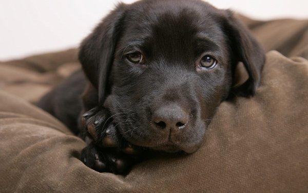 Animal Labrador Retriever Dogs Dog Puppy Chocolate Labrador HD Wallpaper | Background Image
