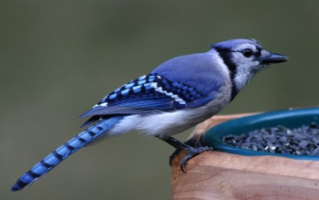 Animal - Blue Jay Wallpapers and Backgrounds ID : 54507
