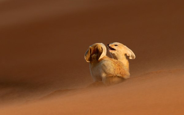 Animal Fennec Fox Fox Desert Sand HD Wallpaper | Background Image