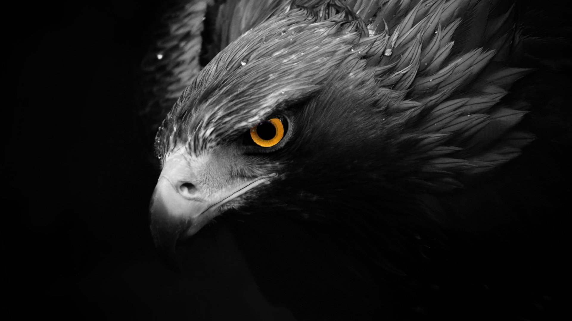 Eagle full hd wallpaper and background image 1920x1080 - Harpy eagle hd wallpaper ...