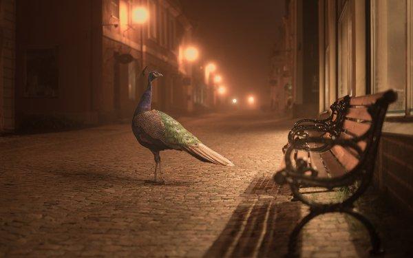 Animales Pavo real Aves Calle Banco Ciudad Fondo de pantalla HD | Fondo de Escritorio