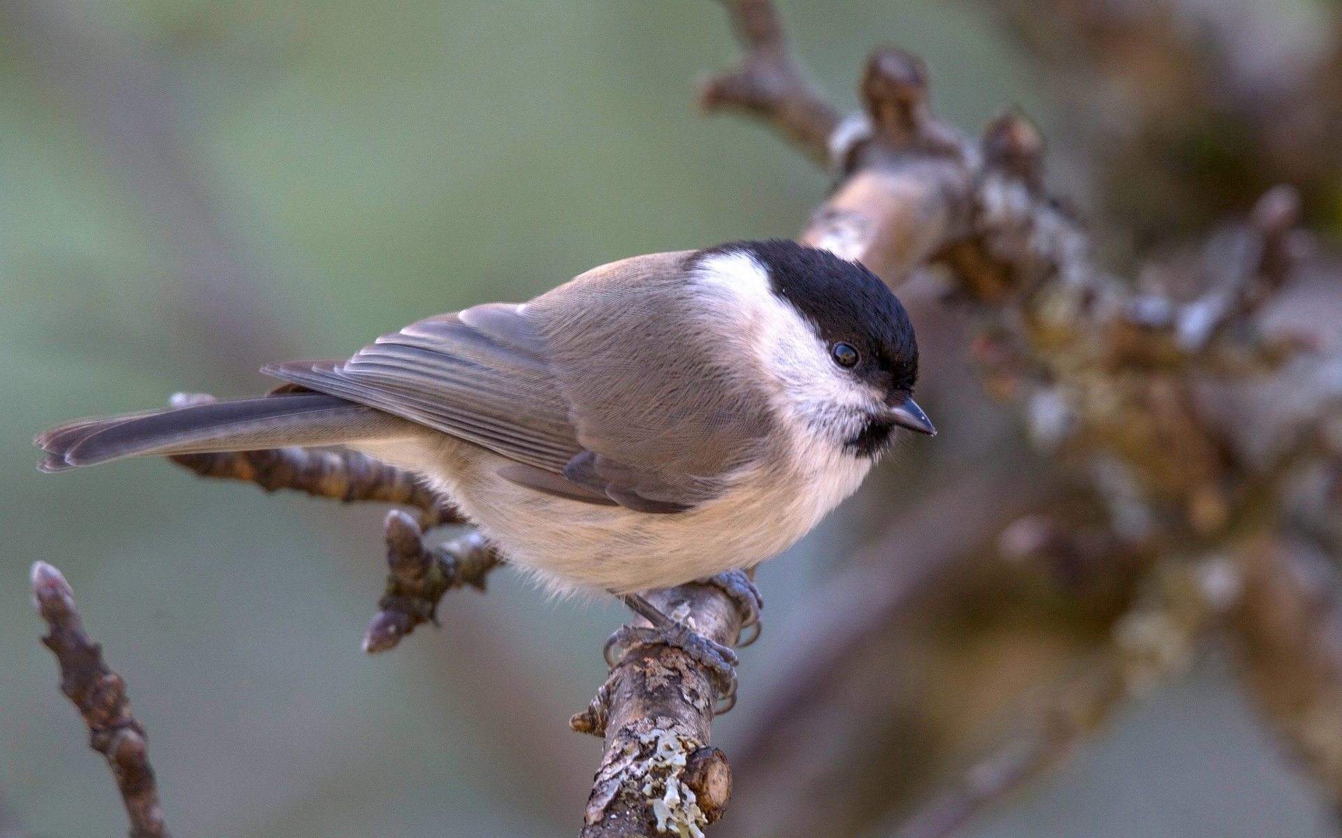 Willow Tit Hd Wallpaper  Background Image  1920X1200 -8771