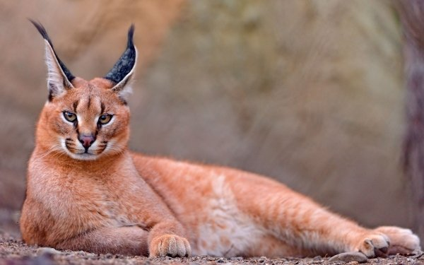 Animal Caracal Cats Resting HD Wallpaper | Background Image