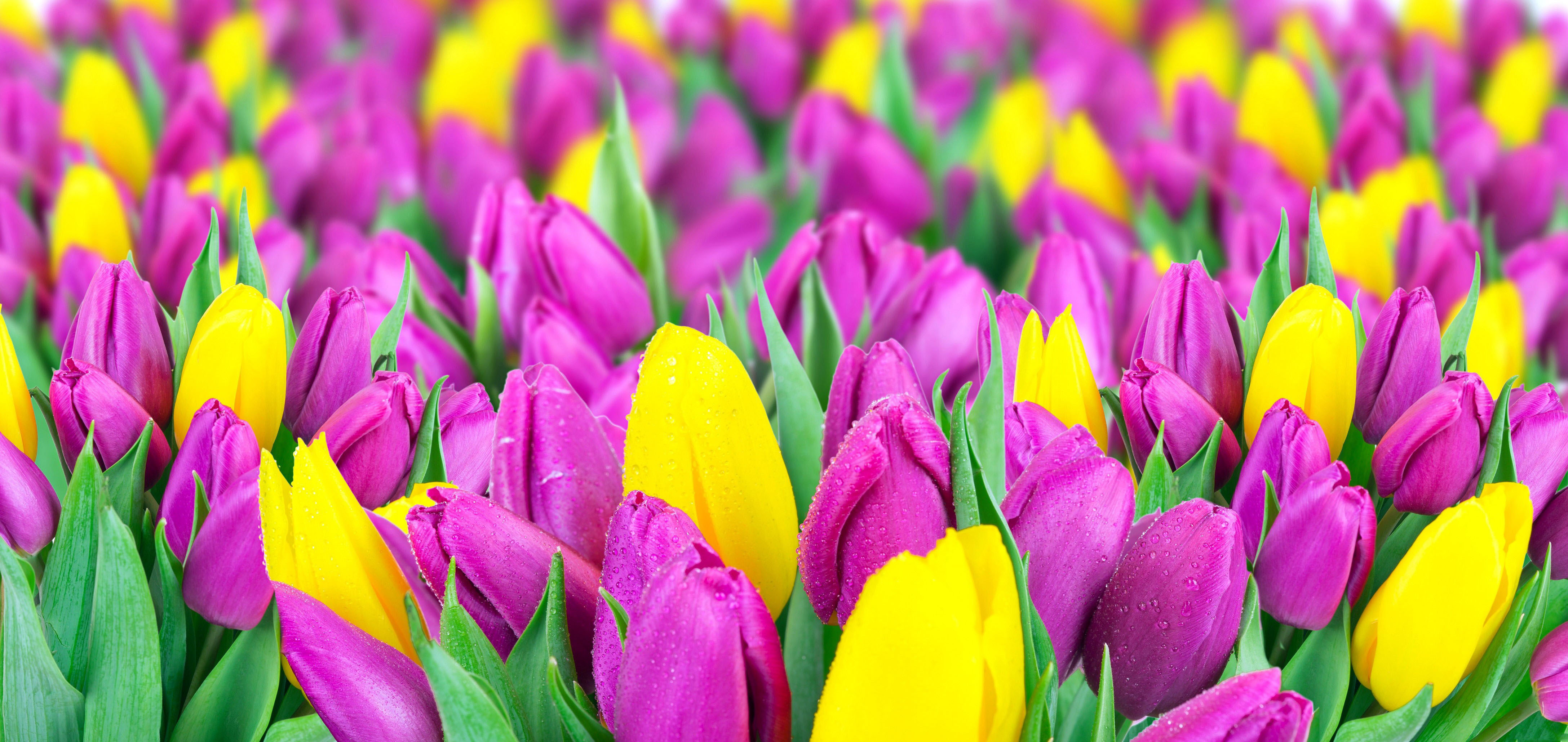 Tulip Full HD Wallpaper and Background   4350x2060   ID:570880