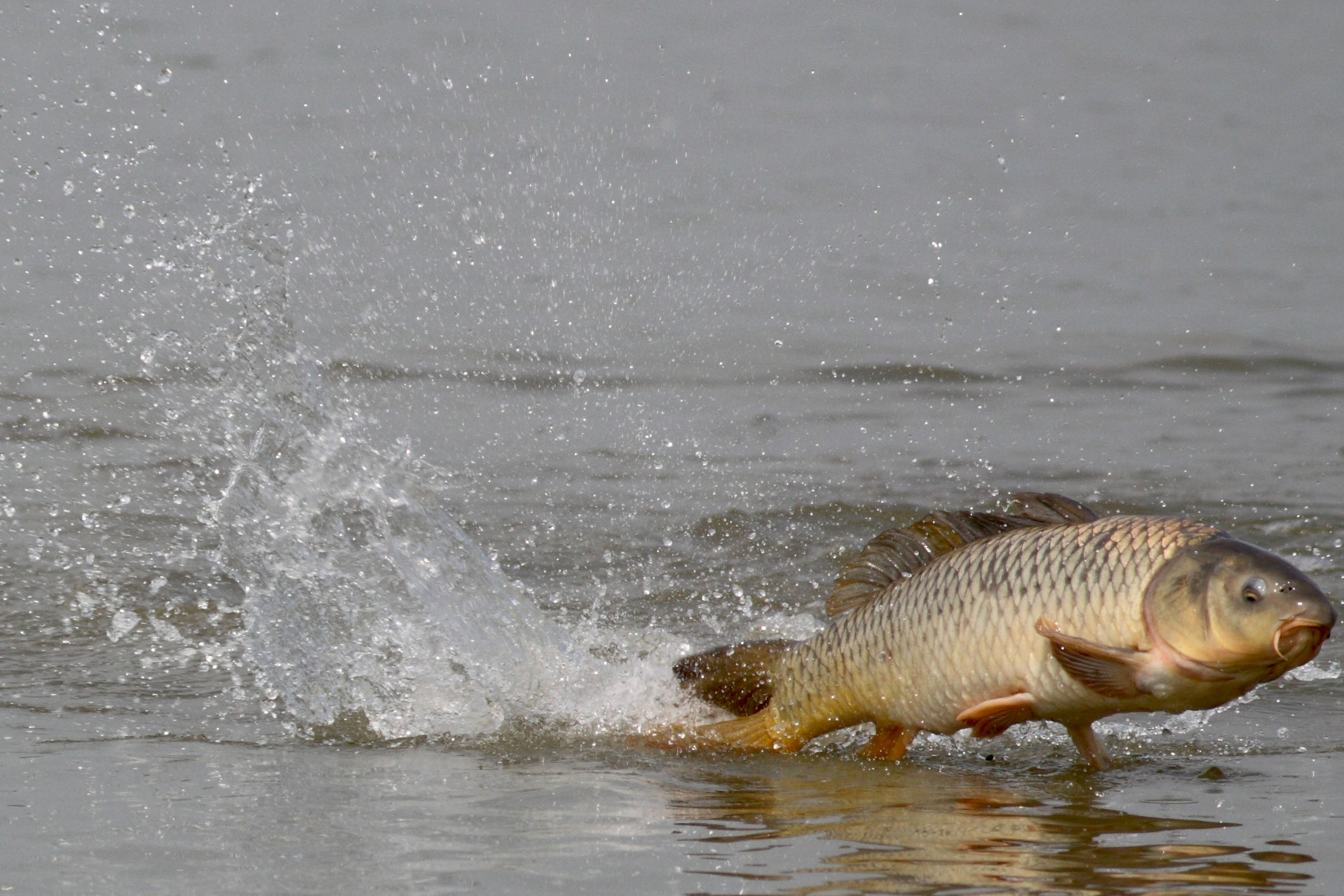 Asian carp hd wallpaper background image 2080x1387 - Carp fishing wallpaper hd ...