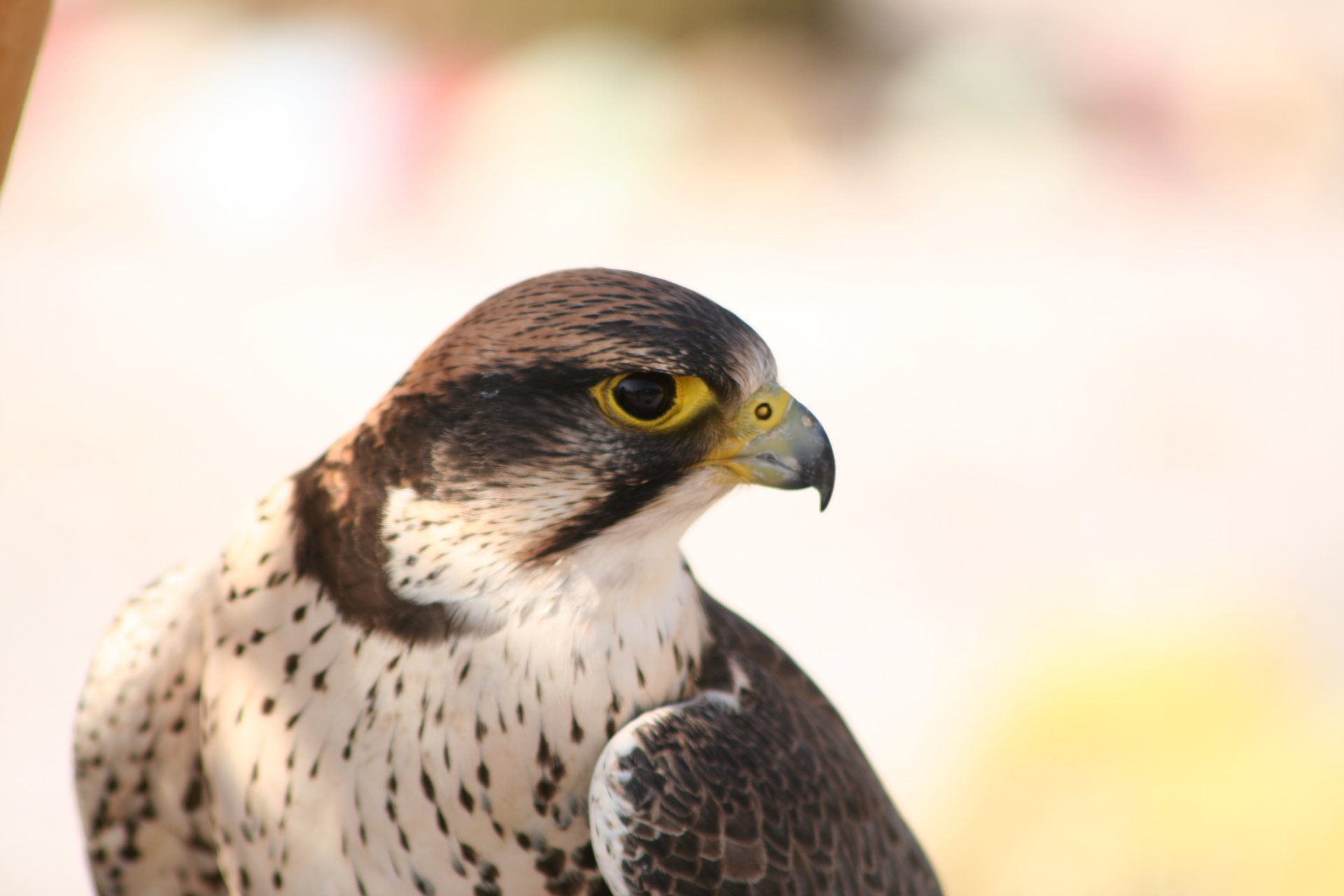 Peregrine falcon hd wallpaper background image - Birds of prey wallpaper hd ...