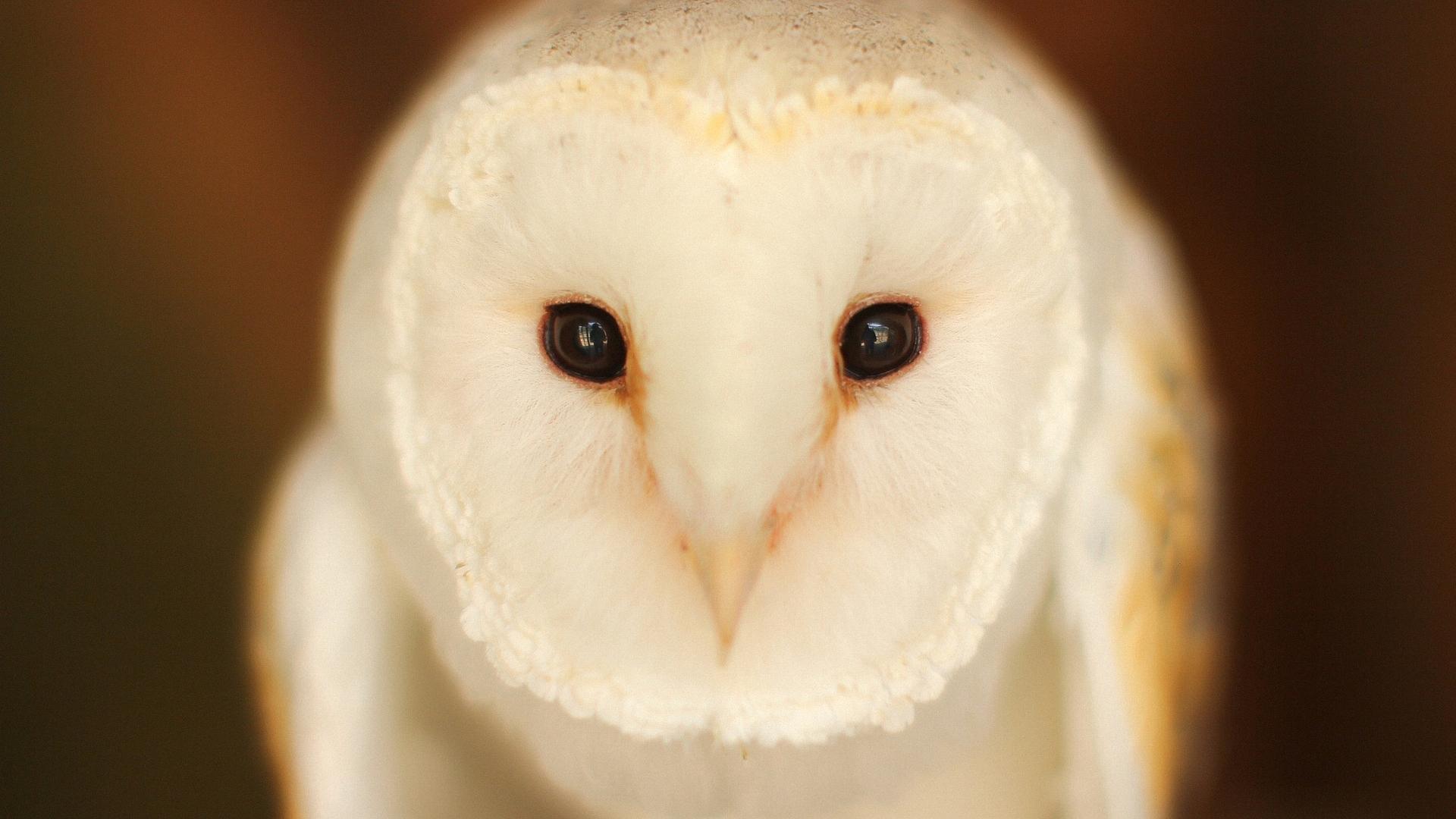 barn owl iphone wallpaper