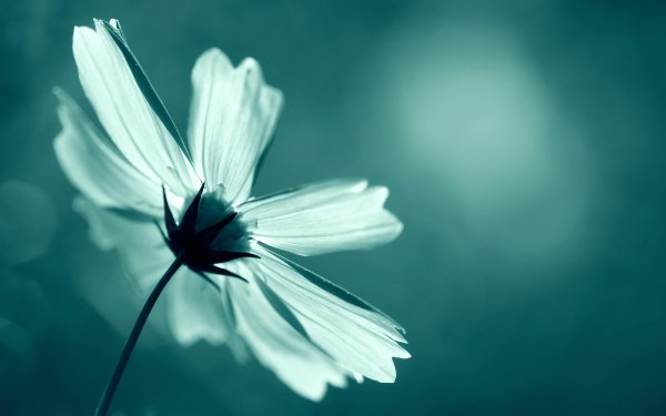 Earth Cosmos Flowers Nature Flower White Flower HD Wallpaper   Background Image