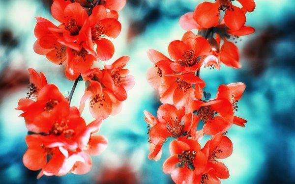 Tierra/Naturaleza Flor Flores Chaenomeles Japonica Japanese Quince Florecer Primavera Bokeh Fondo de pantalla HD   Fondo de Escritorio