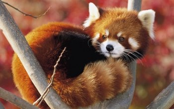 196 Red Panda HD Wallpapers