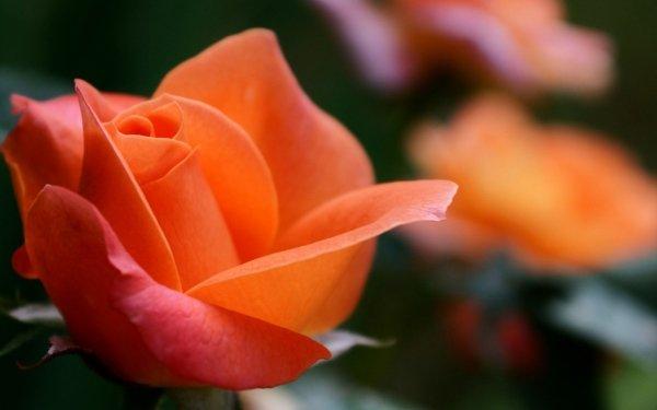 Terra/Natura Rose Fiori Macro HD Wallpaper | Sfondo