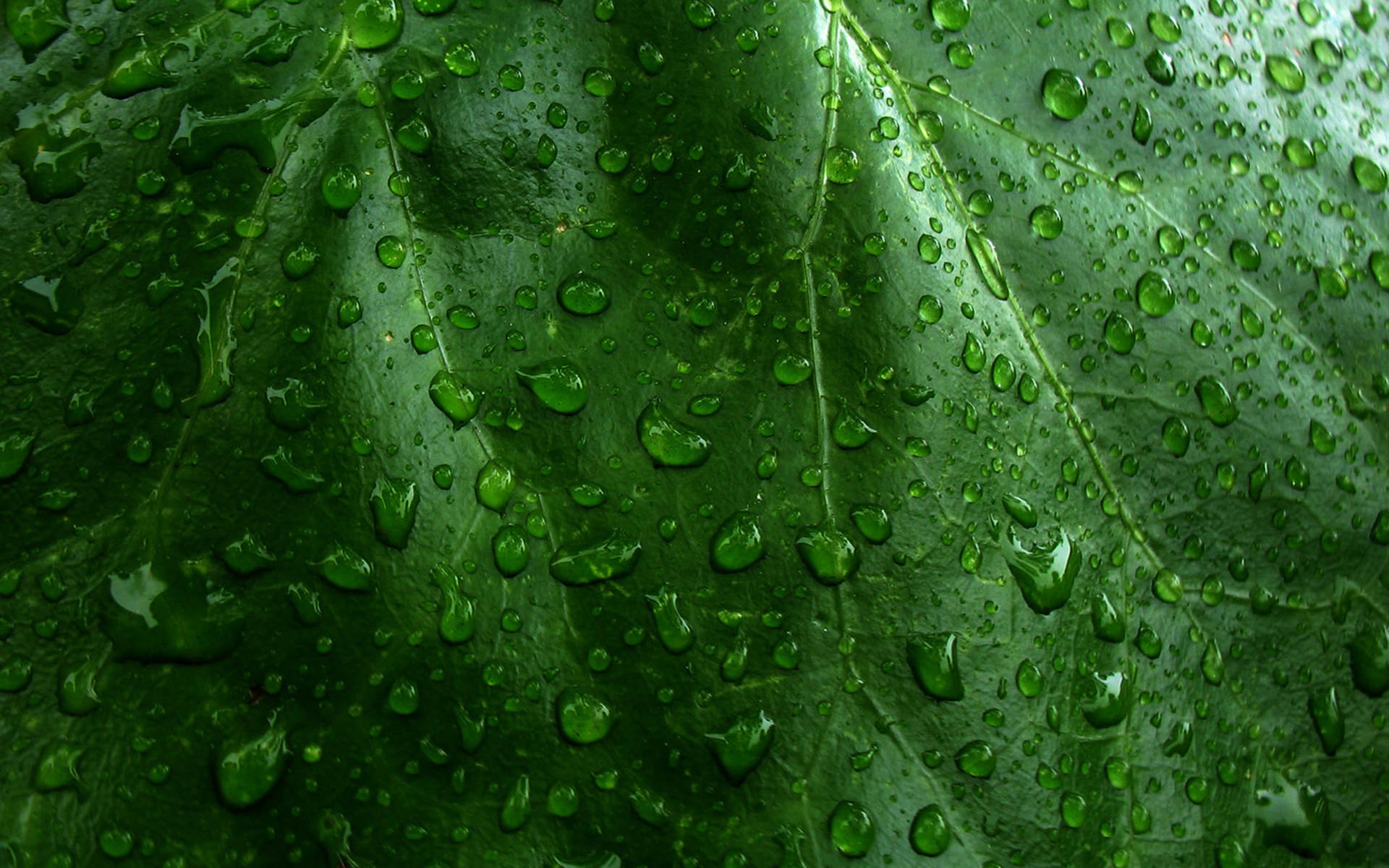 Earth - Water Drop  Green Leaf Raindrops Ribs Plant Wallpaper