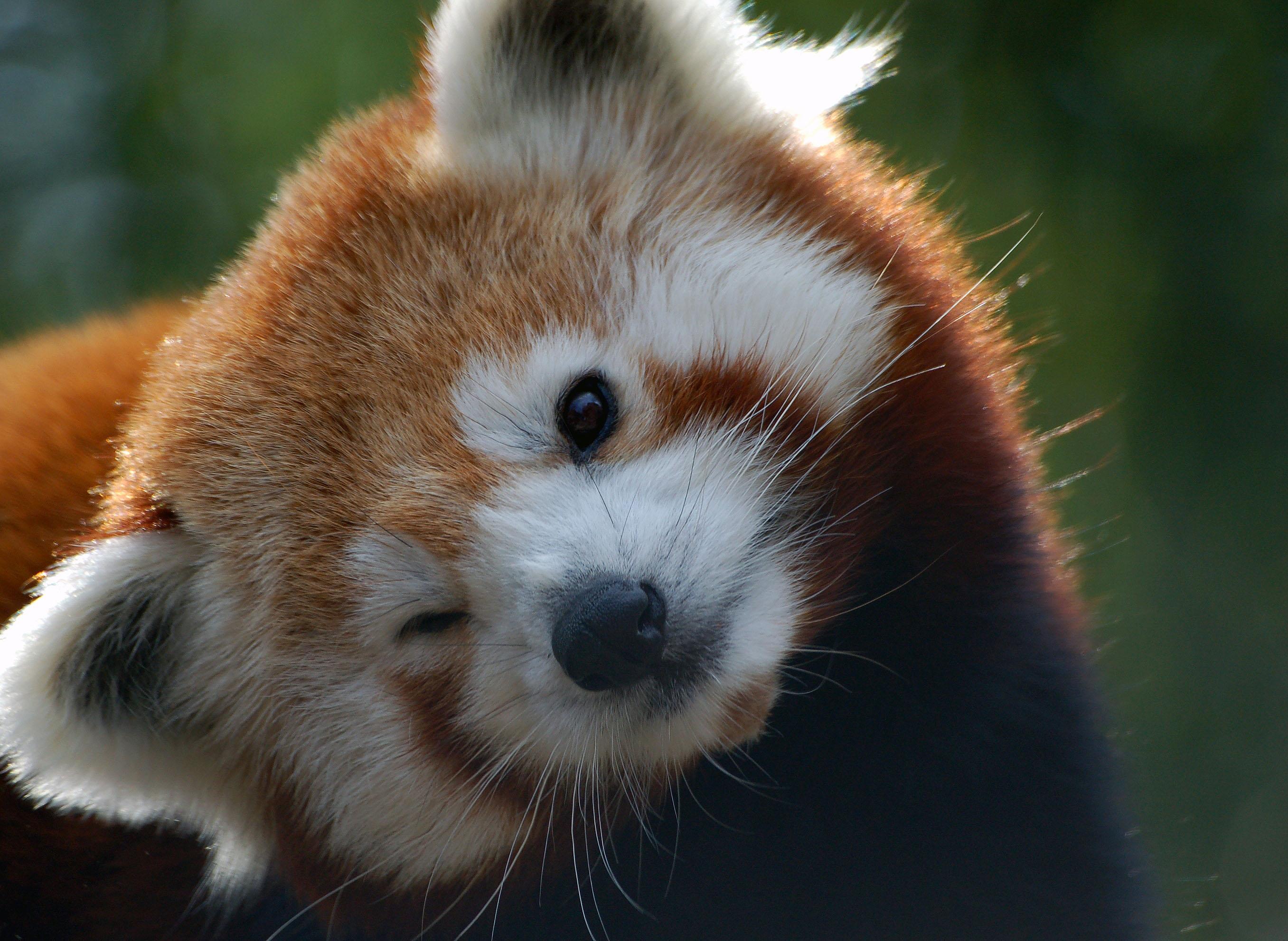 Panda Roux Full HD Fond d'écran and Arrière-Plan | 2713x1982 | ID:650156