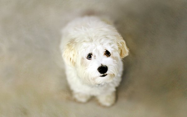 Animal Maltese Dogs HD Wallpaper   Background Image