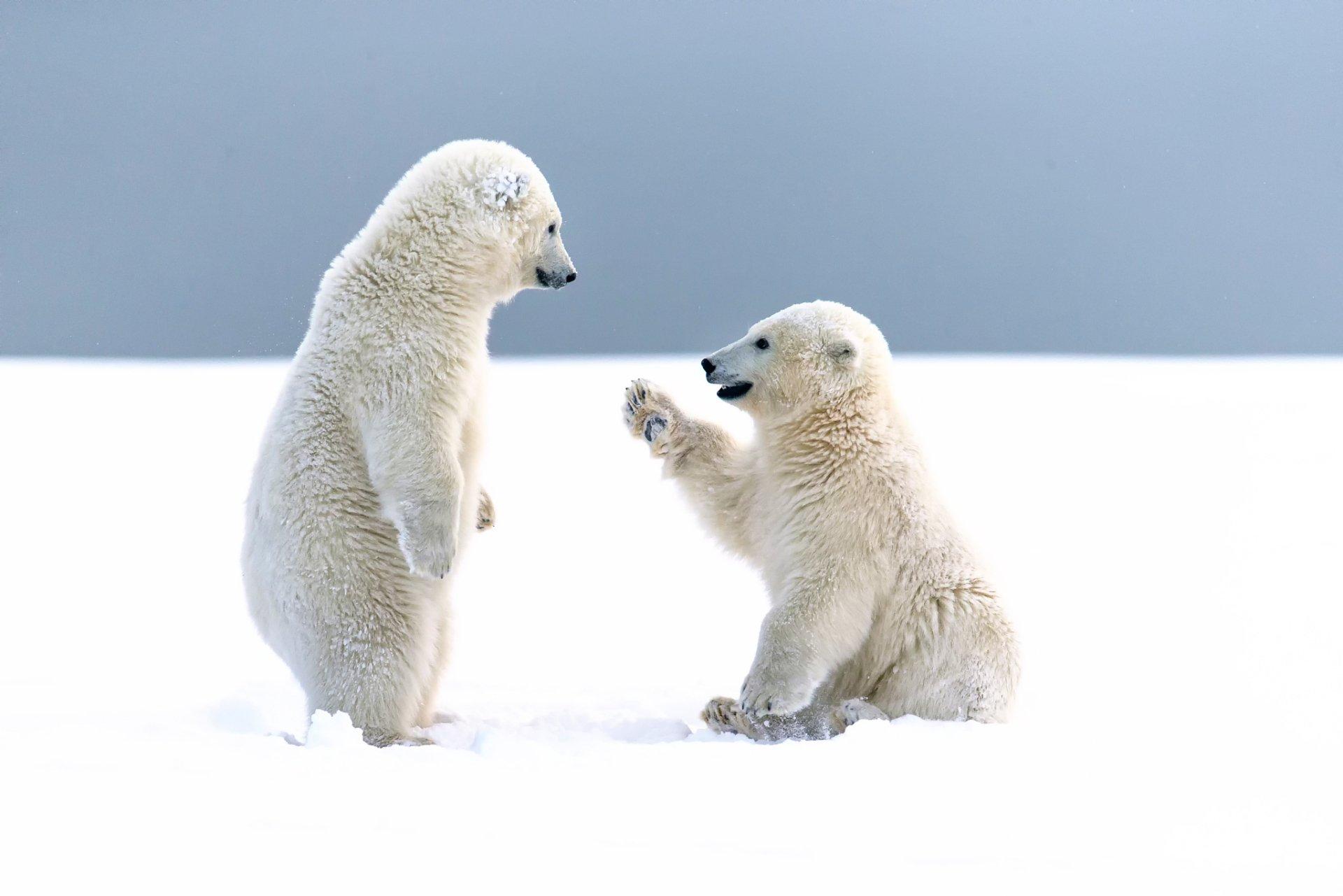 Animal - Polar Bear  Bear Snow Animal Wildlife Cute Wallpaper