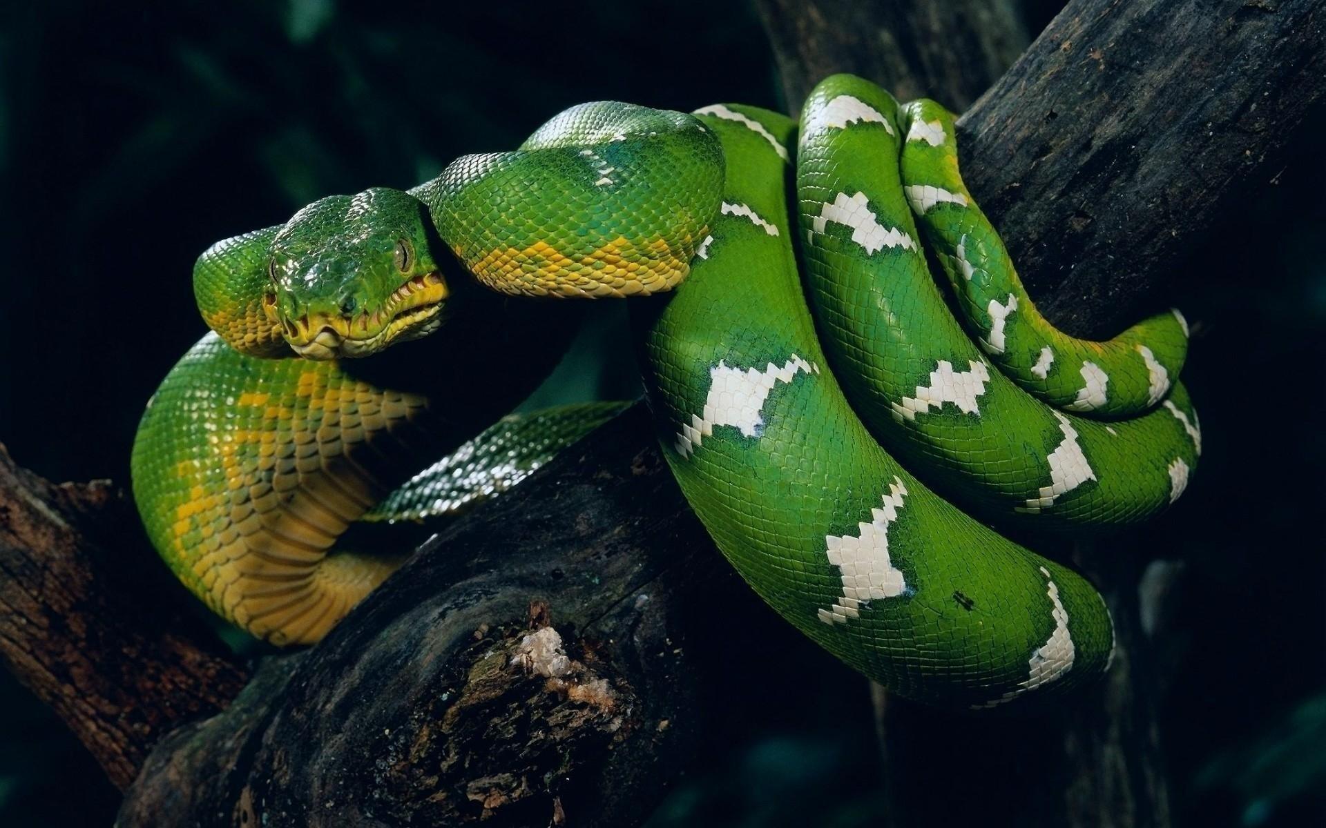 Animal - Snake  Wallpaper