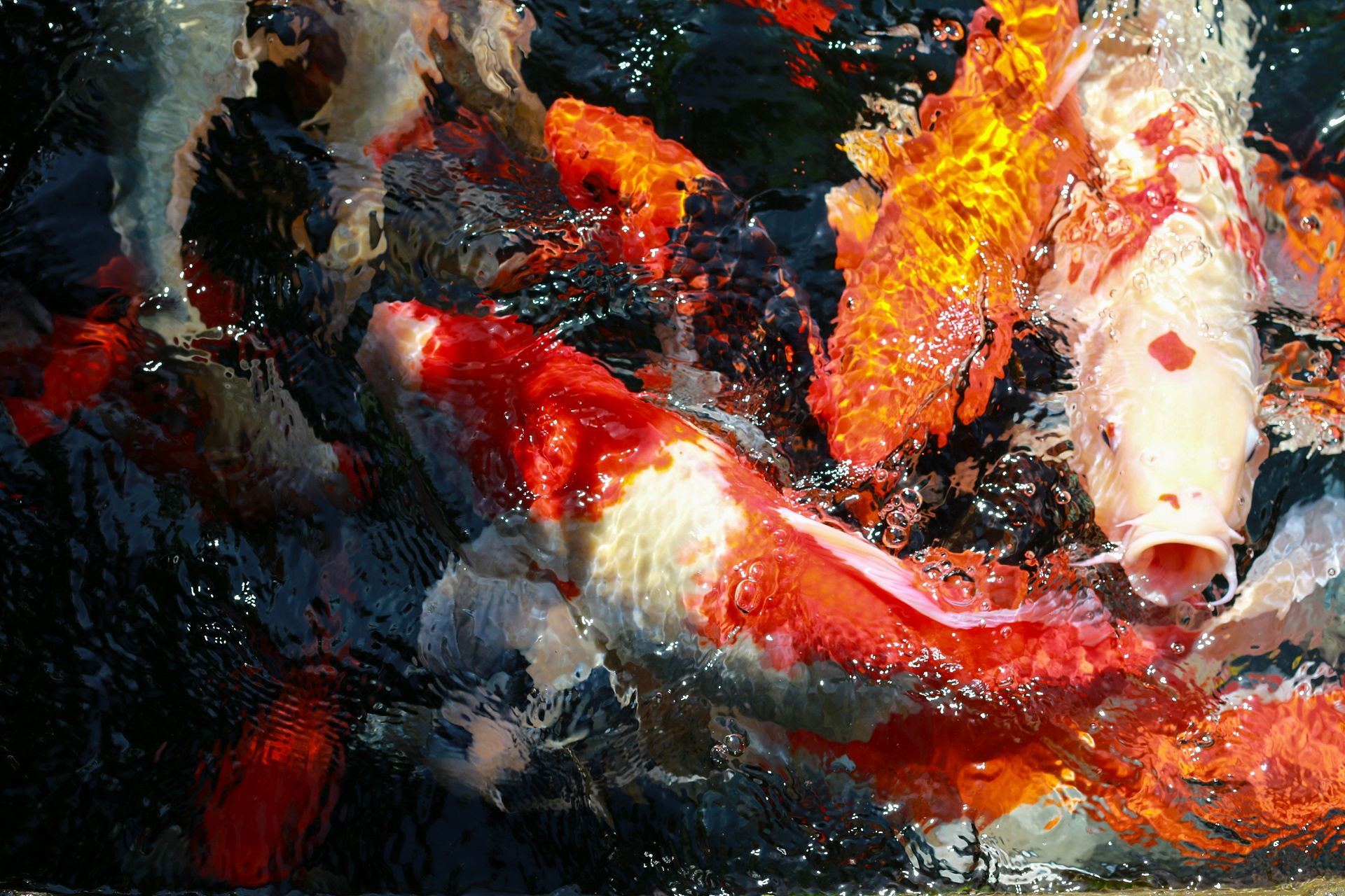 Koi full hd wallpaper and background 1920x1280 id 668032 for Koi fish wallpaper for walls