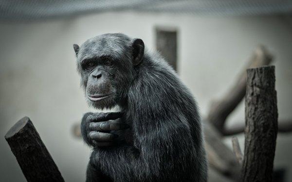 Animal Chimpanzee Monkeys Monkey Ape Primate HD Wallpaper | Background Image